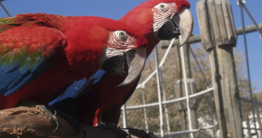 Guacamayo rojo - Red and green macaw