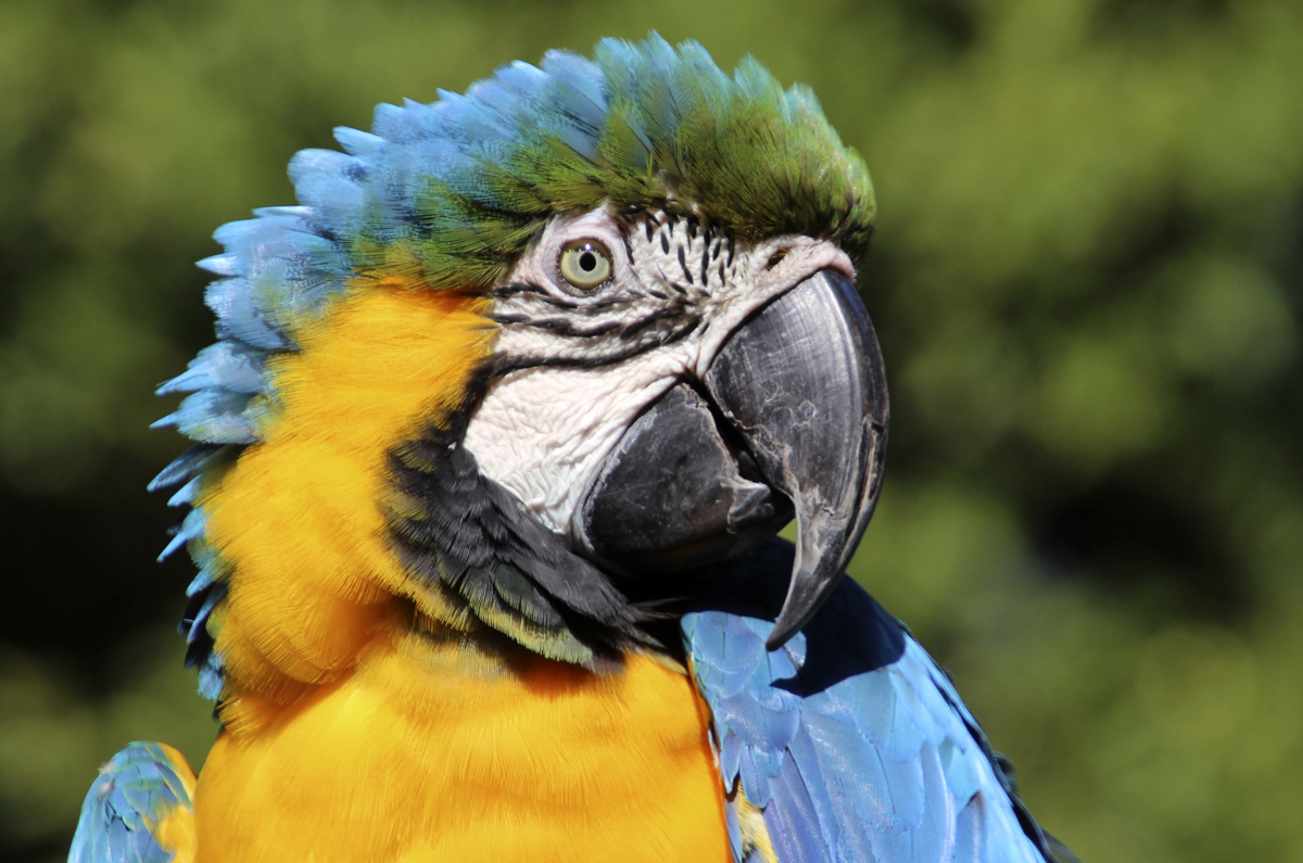 Guacamayo azul y amarillo - Blue and yellow macaw